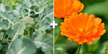 Растения-компаньоны на огороде