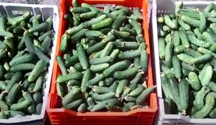Секреты хорошего урожая огурцов