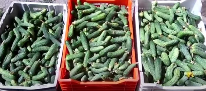секреты урожая огурцов
